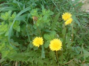 Sweet dandelions enjoying good weather